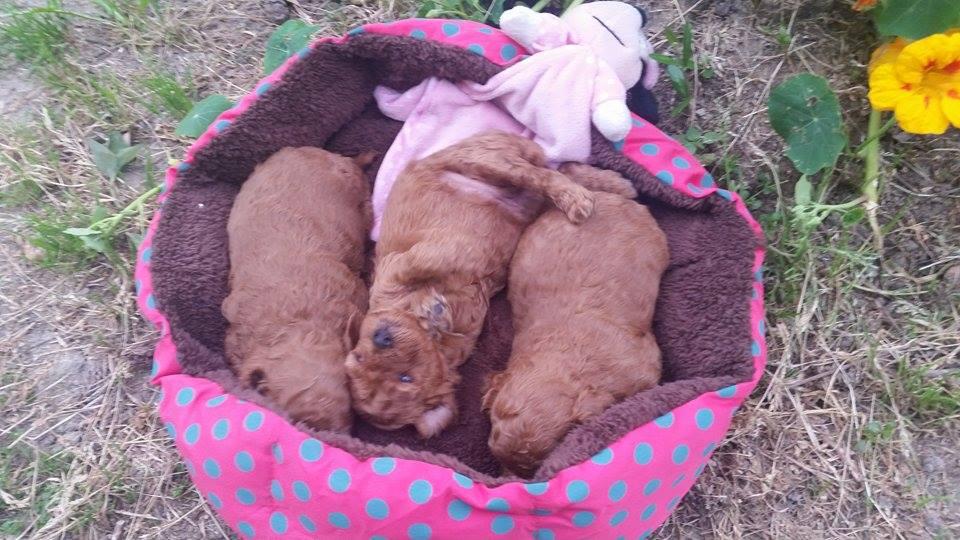 Bébés Inca femelles - photo prise le 17.04.16