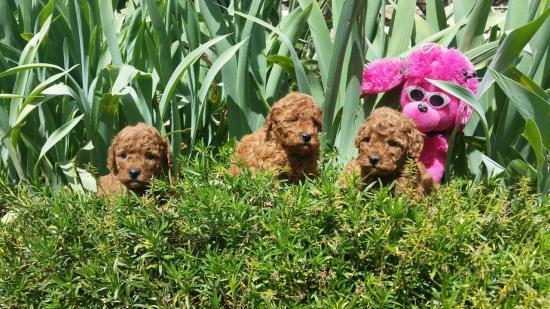 Bébés femelles Inca - photo prise le 28.04.16