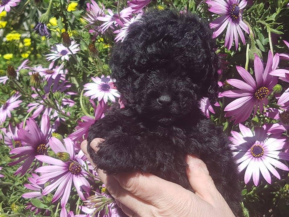 femelle toy noire - photo prise le 08.03.17