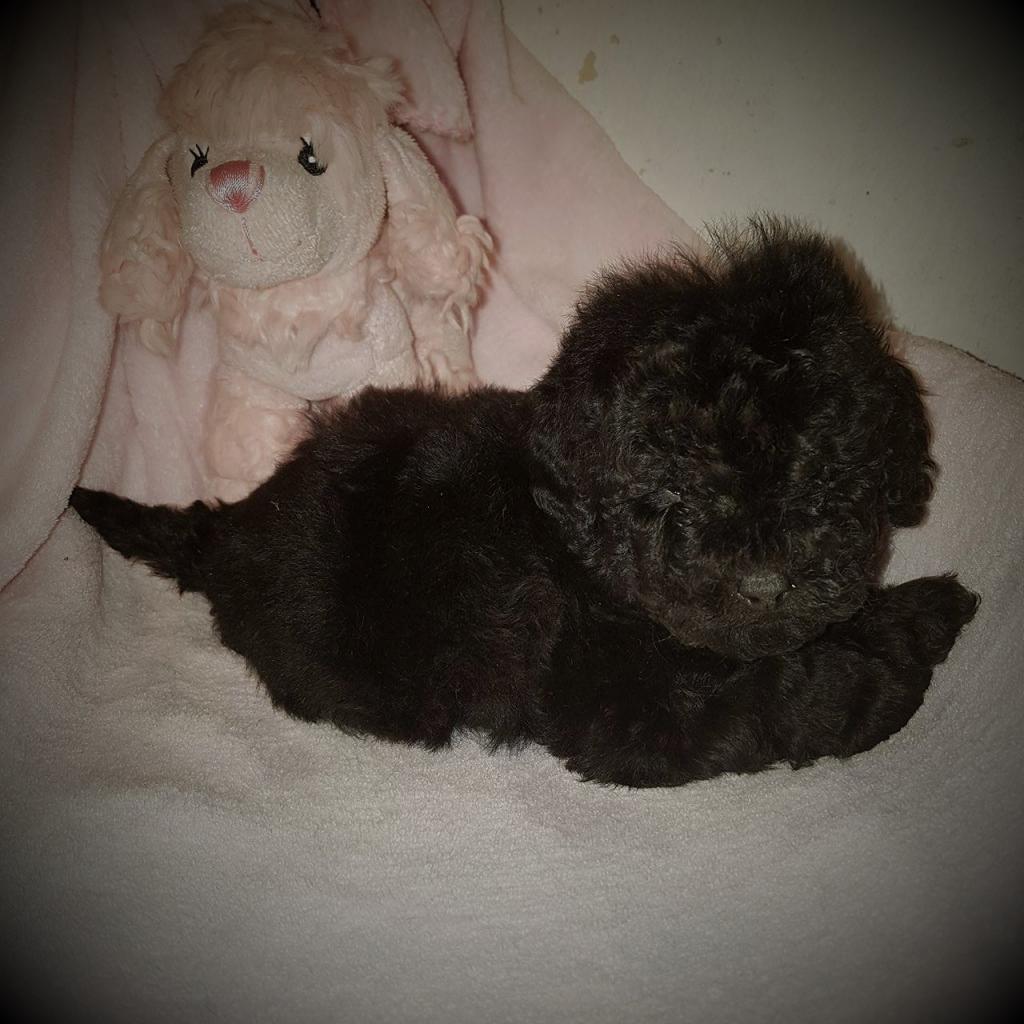 femelle toy noire - photo prise le 07.03.17