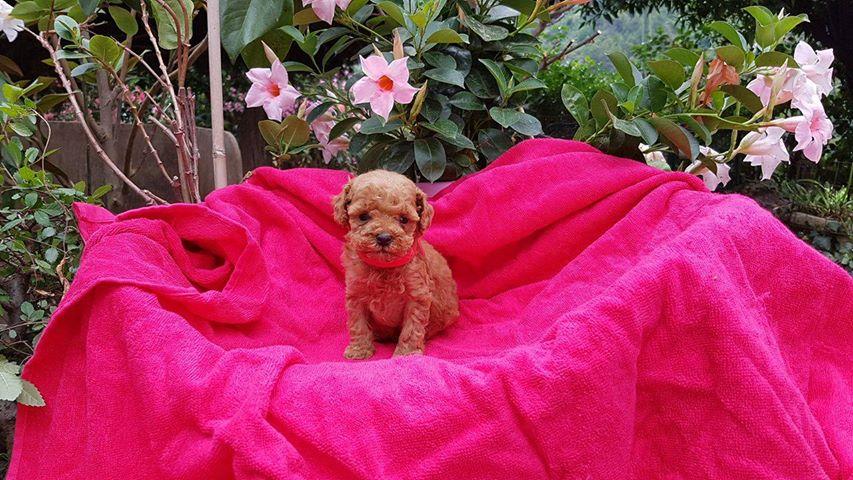 femelle toy collier rose - photo prise le 26.06.17