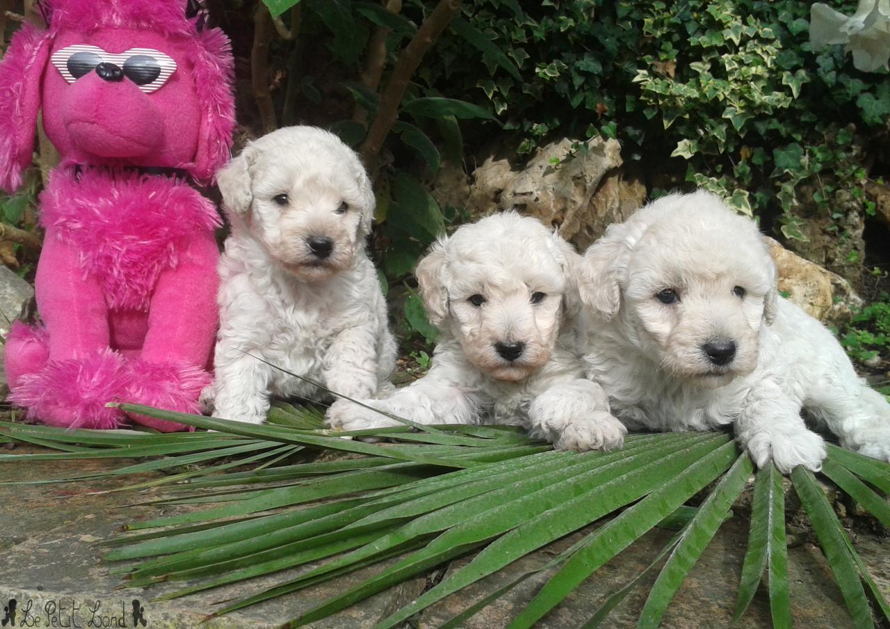 3 femelles portée Anggun - le 29.10.13