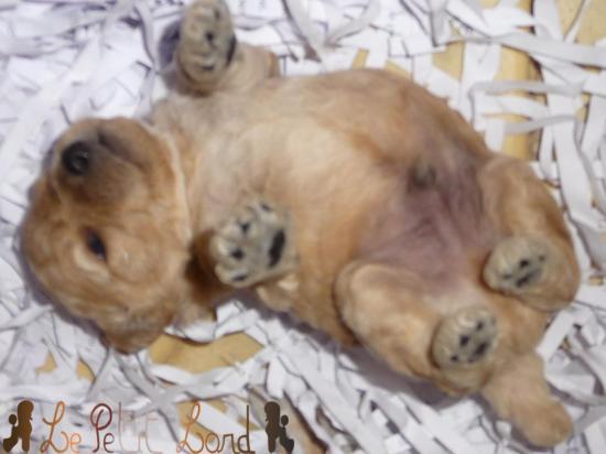 Bébé abricot (mâle)