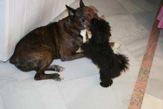 Holly et son copain le boxer (Famille Garcia)