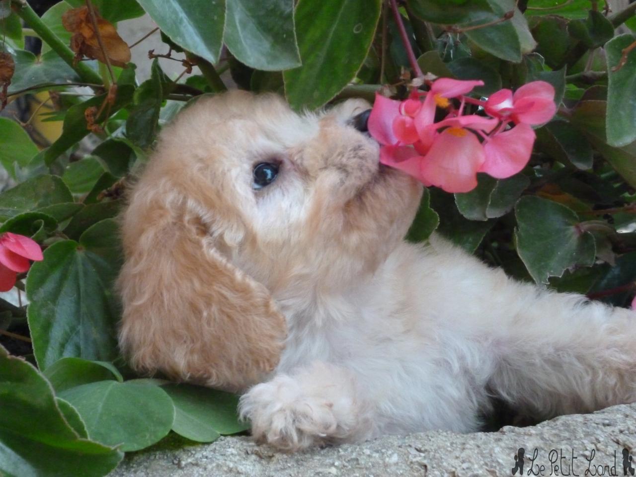 Portée Berryl - Petite femelle abricot