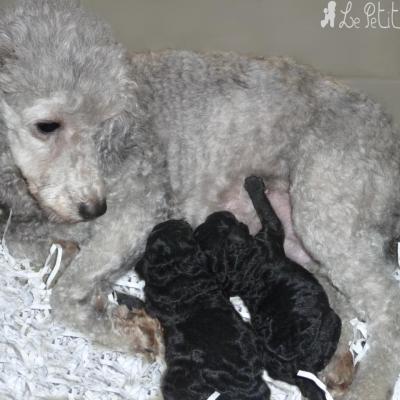 Bébés gris et leur Maman (mâle et femelle)