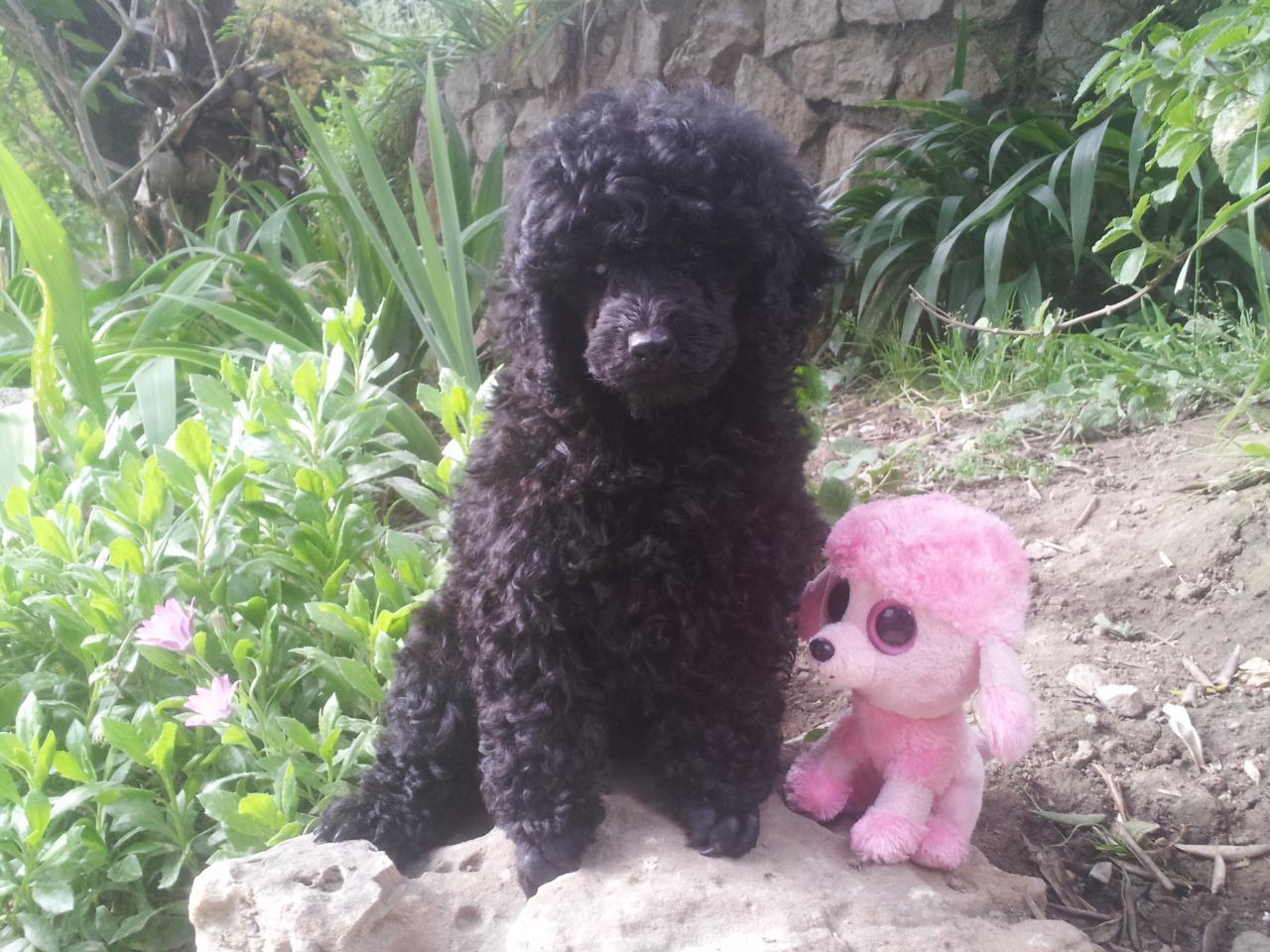Portée Koko - femelle noire - le 31.05.13